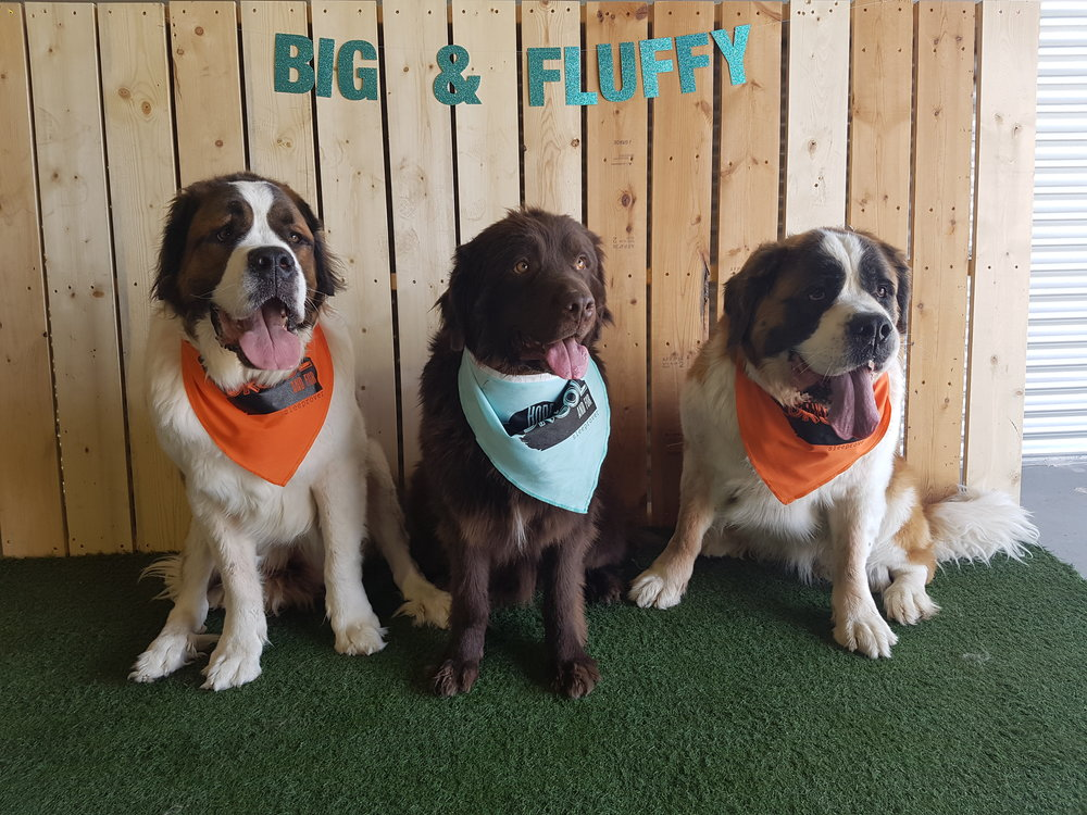 BIG & FLUFFY DAY - May 1st 2016 - Saint Bernards, Newfies, Berners etc.