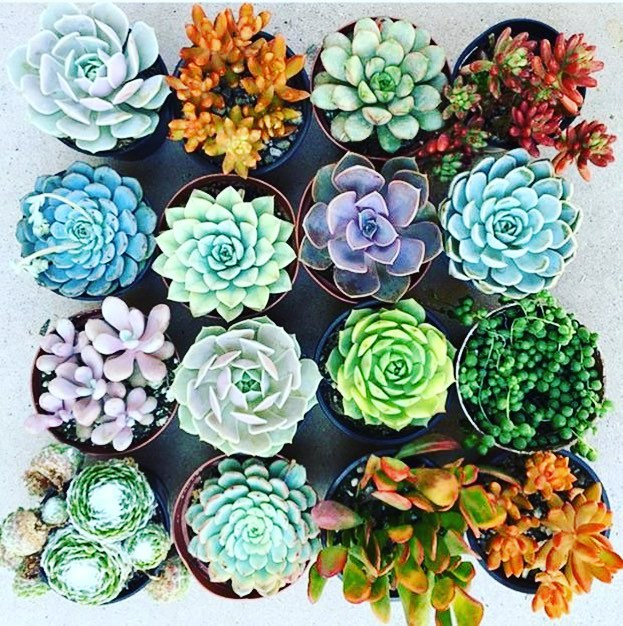 We love succulents! Come check out our new selection weekly! #grow #growvancouver #plantshop #davie #davievillage #jimdevaplaza #weamaze #succulents #echeveria
