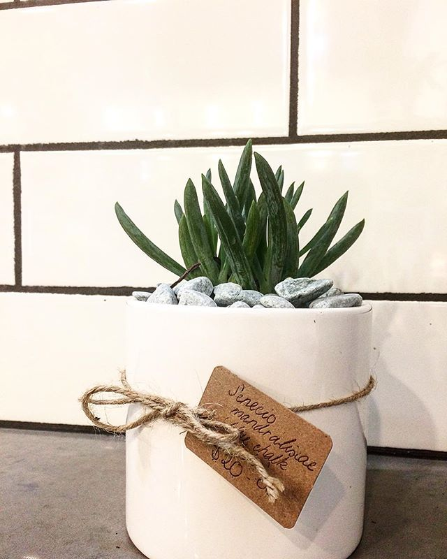 Senecio Mandraliscae, otherwise known as 'Blue Chalk Sticks'. This plant is a species of the genus Senecio and a dwarf shrub from the family Asteraceae. Indigenous to Southern Africa! We love creating planters. They make for the perfect gift, or decoration to bring some life into your home space. . . . . #growvancouver #plantsofinstagram #plants #vancity #vancitybuzz #vancouverbc #weamaze #plantshop #westend #westendliving  #jimdevaplaza #lgbtsafezone #lgbtcommunity