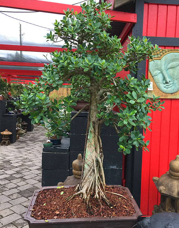 gallery_bonsai9.jpg