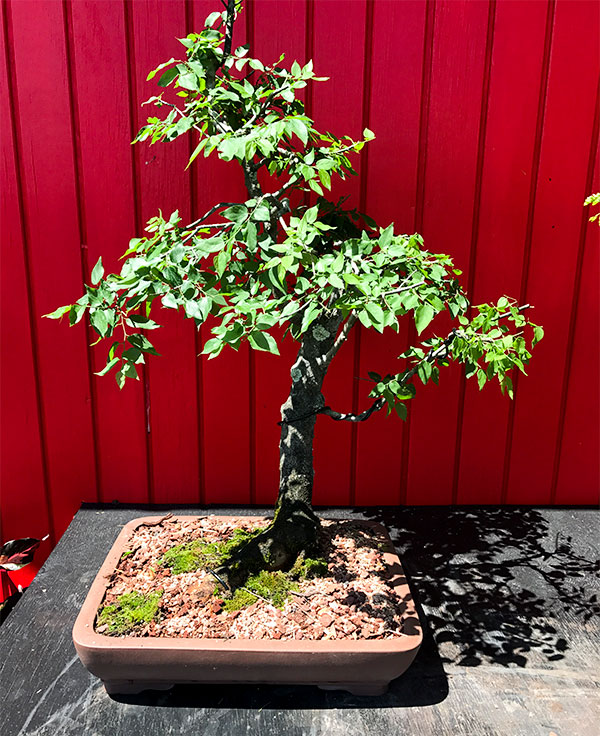 gallery_bonsai14.jpg
