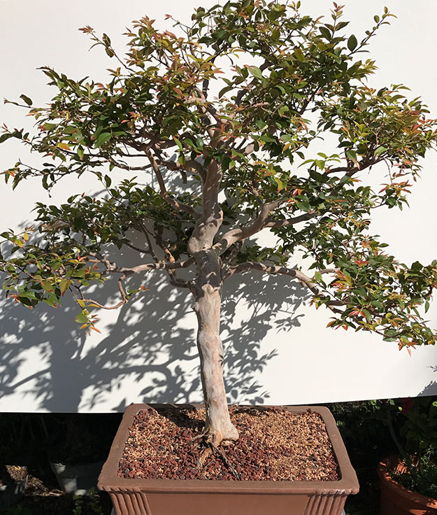 gallery_bonsai18.jpg