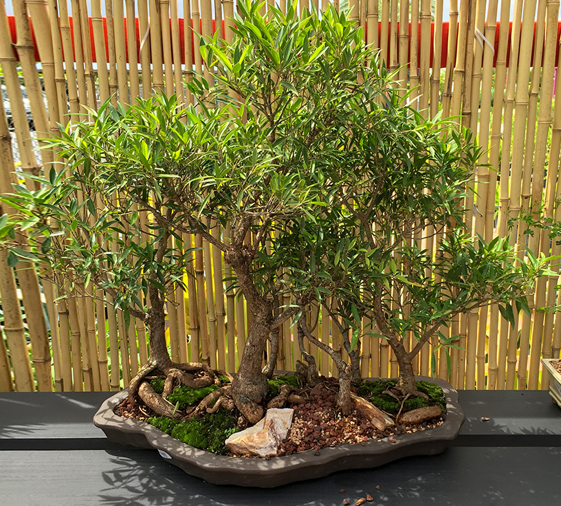 gallery_bonsai19.jpg