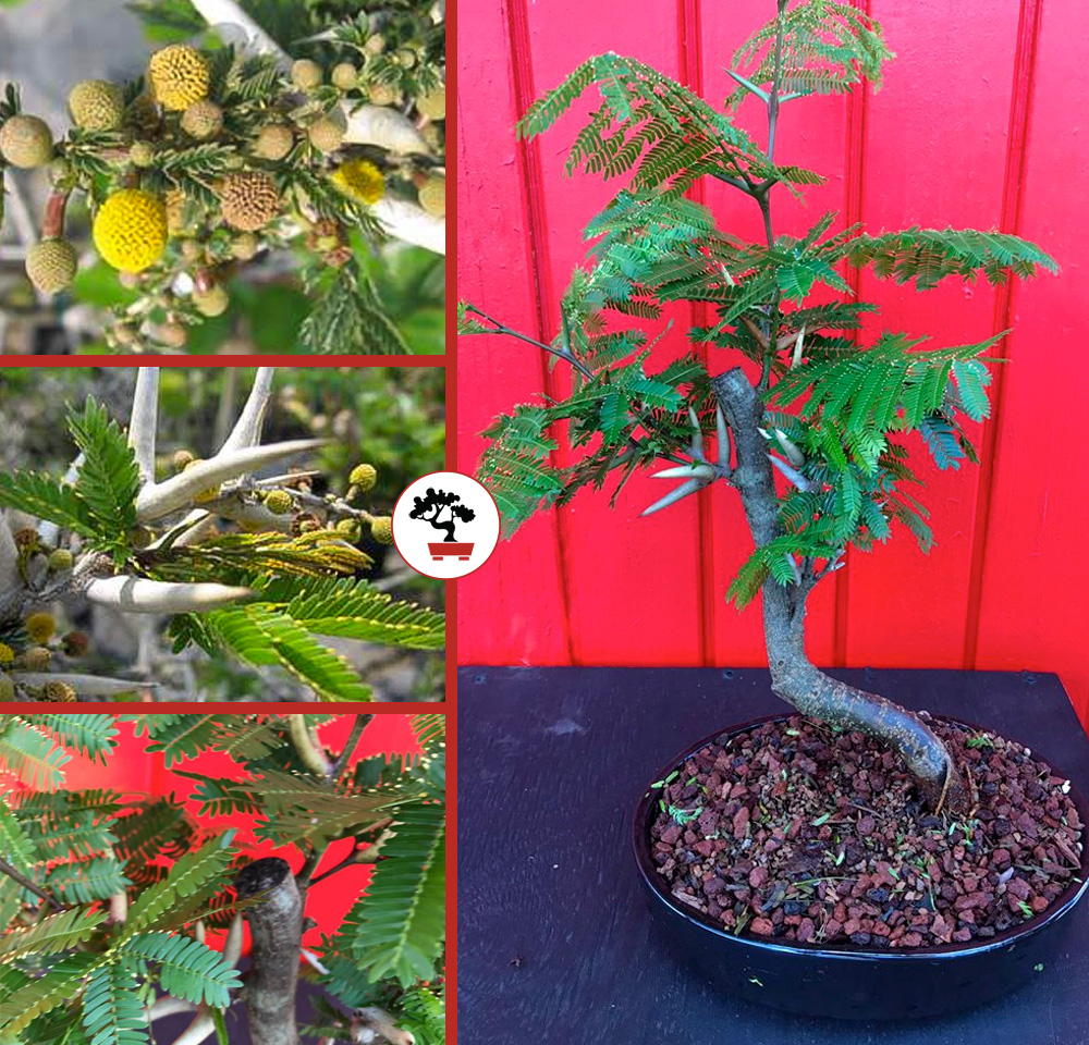 New Species In The Shoppe Bullhorn Acacia Florida Mimosa Tyler