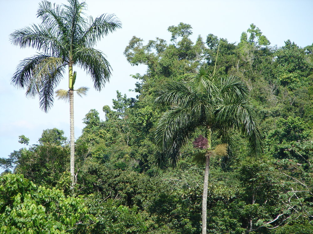 Endemic royal palms AT MARSHALL'S PEN
