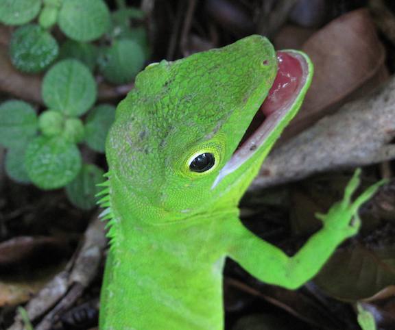 anolis garmani