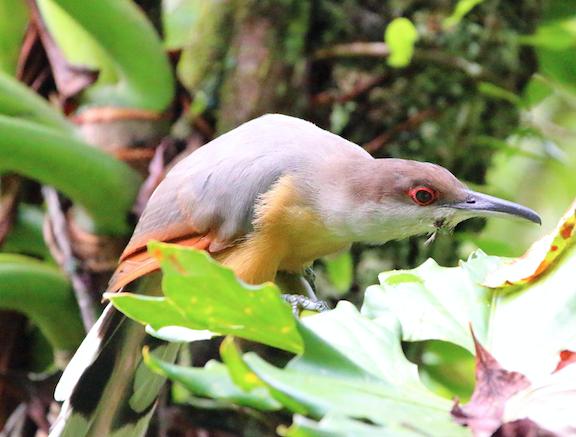 jamaican lizard cuckoo