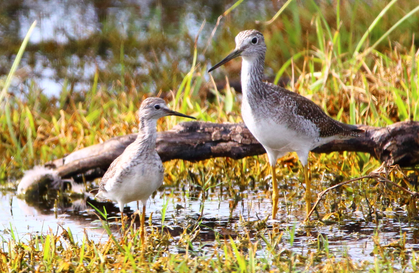 Lesser and Greater Yellowlegs (Photo. by S. Brager)