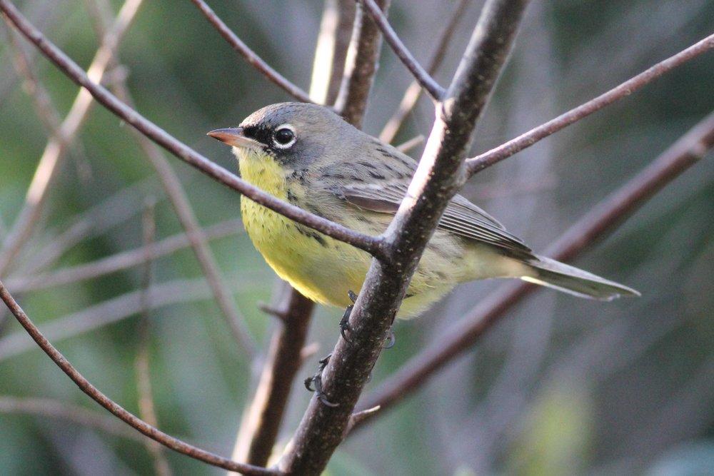 Kirkland's Warbler, Eleuthera