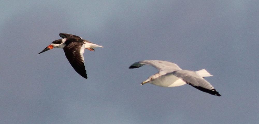 Black Skimmer and Ring-billed Gull