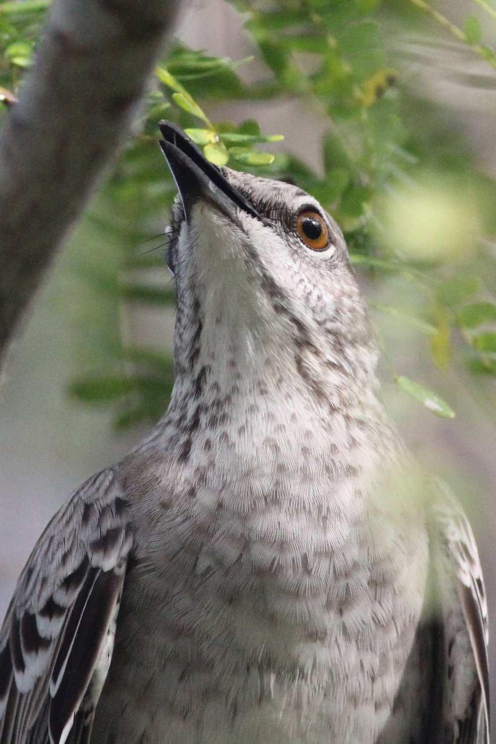 Bahama Mockingbird