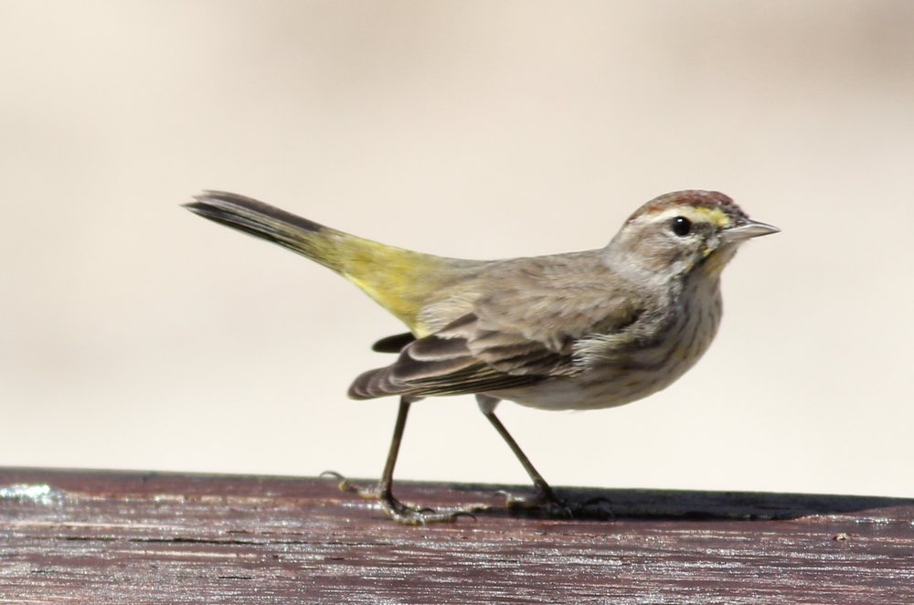 Palm Warbler on a lunch table at the Wild Orchid