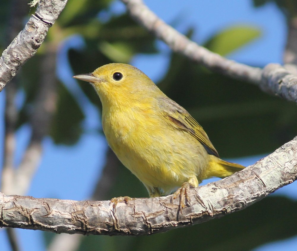 Yellow Warbler in the mangroves at Small Hope Bay