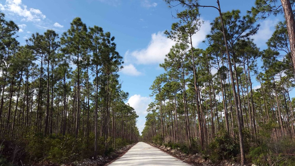 Caribbean Pines