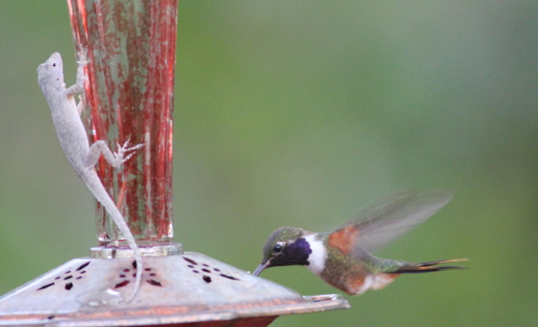 An Anole and a hummingbird compete for the feeder.