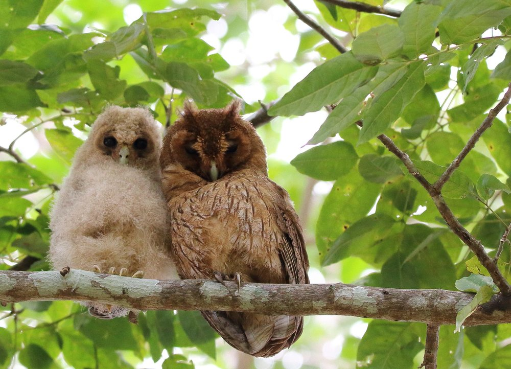 jamaican owl downy chick and adult, marshall's Pen, march 2017