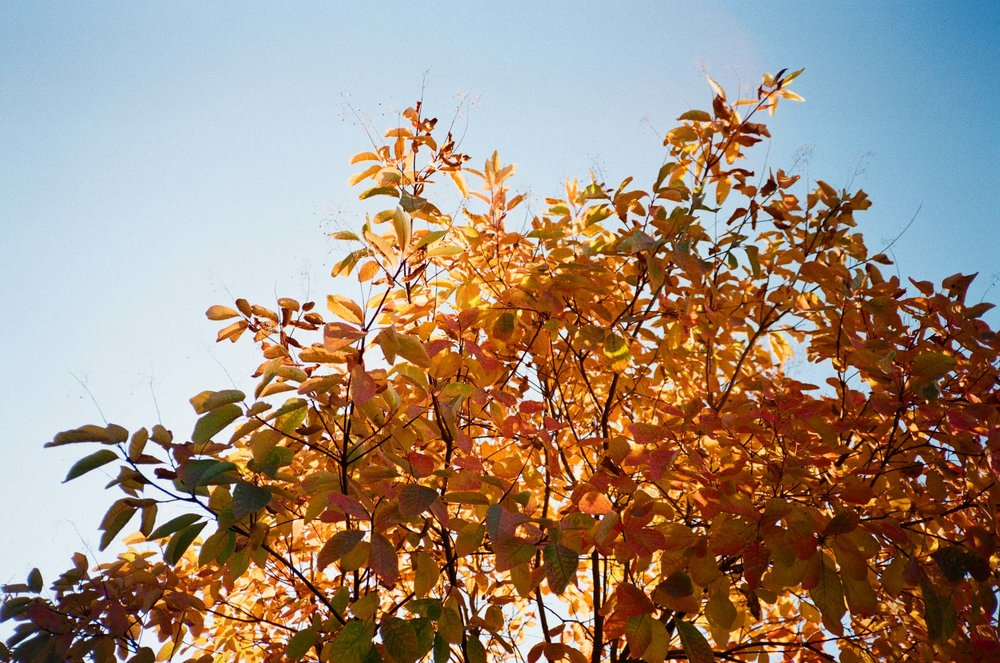 Photos of Autumn leaves in Cathedral Park, Portland, OR.