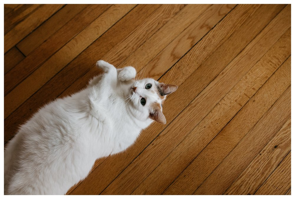 White Cat on Wood Floor.jpg