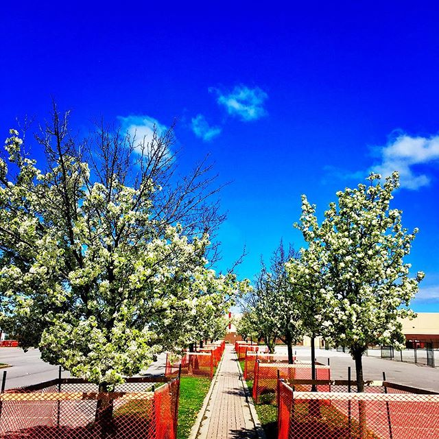 Embracing Beauty every day stop for a second in the mad rush of your entrepreneurial day and appreciate something beautiful .A beautiful walk any time and especially so on a sunny ☀️ #walk #sky #treelined #flowers #walkway #path #bluesky #moments  #sun #sunny #cold #ontario #startuplife #entrepreneur #entrepreneurlife #startup #hustlehard #hustle #grind
