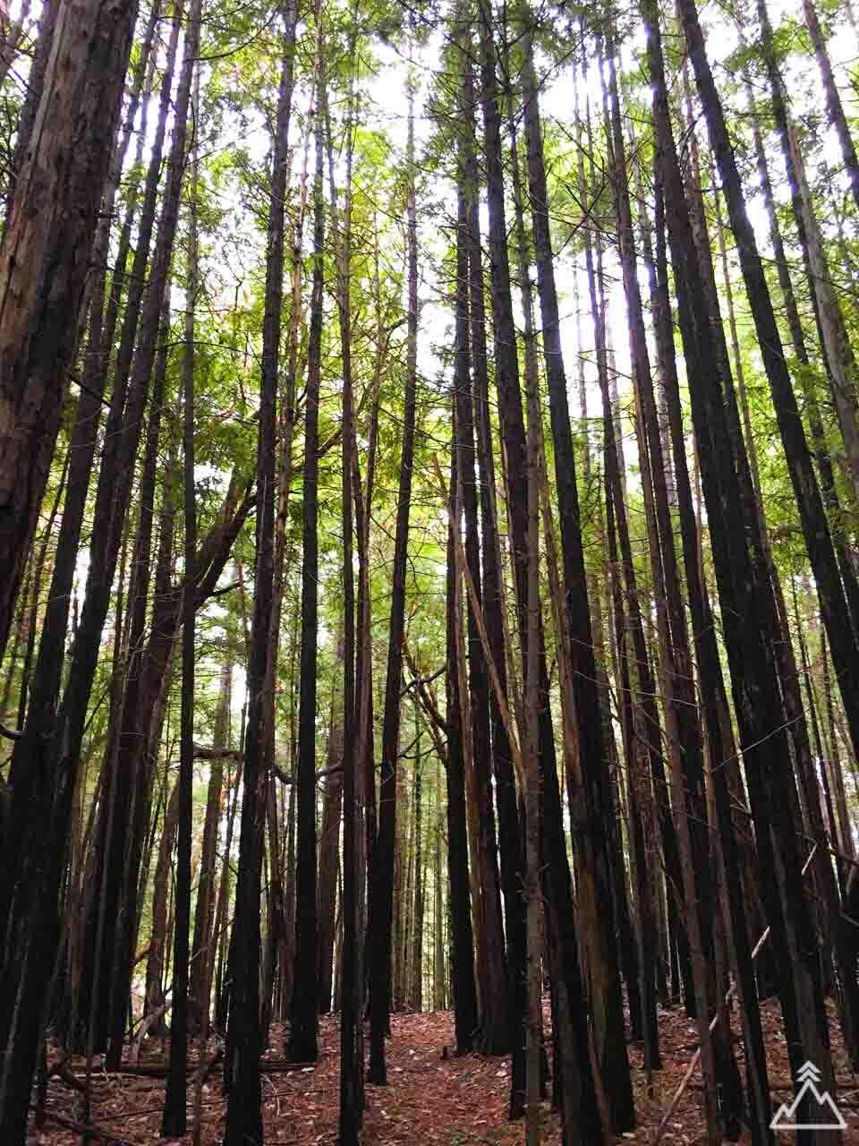 Pygmy Redwood Grove