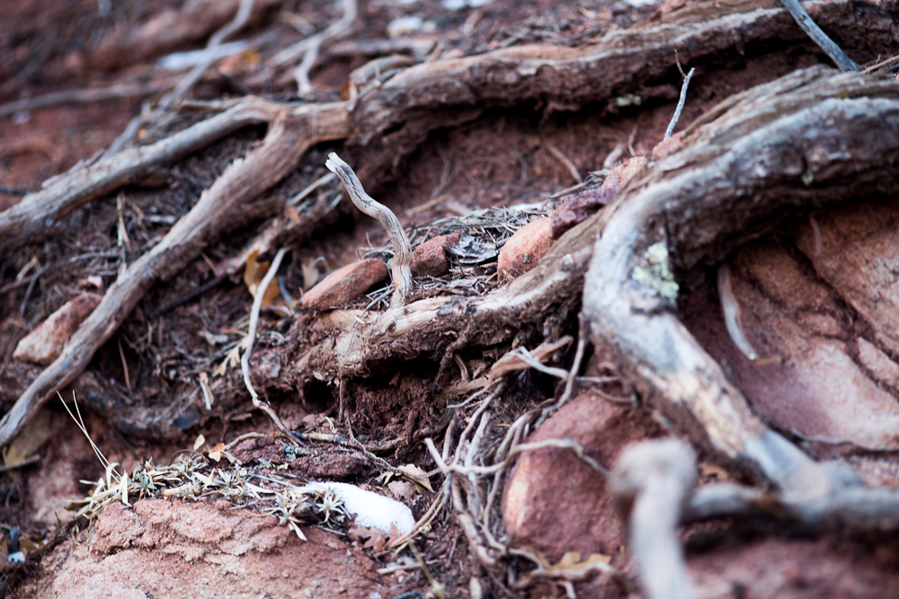 Some beautiful tree roots at Garden of the Gods
