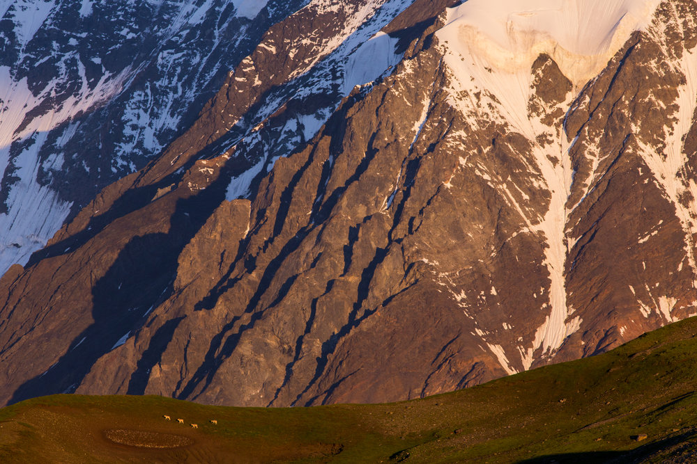 Dall Sheep crossing a slope at sunrise in the Hayes Range near McGinnis Glacier.