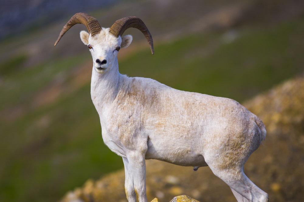A curious Dall sheep ram.