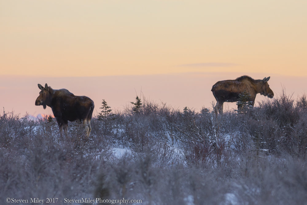 I passed a large gathering of female moose (at least a dozen) on the drive to the mountains.