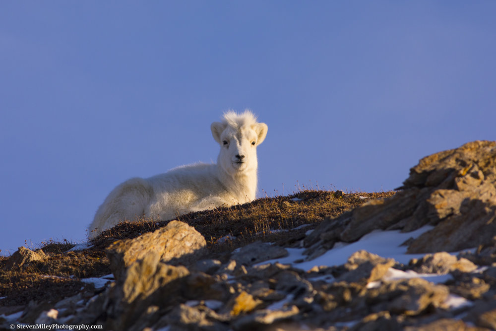 A Dall sheep lamb resting on a hilltop in the morning sun.