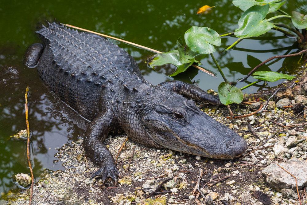 Alligator basking in Everglades National Park, Florida.