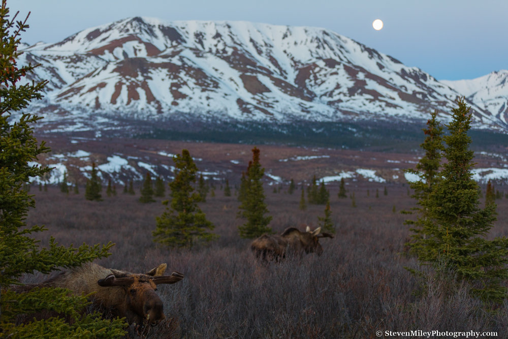 Bull moose with budding antlers foraging before dawn.