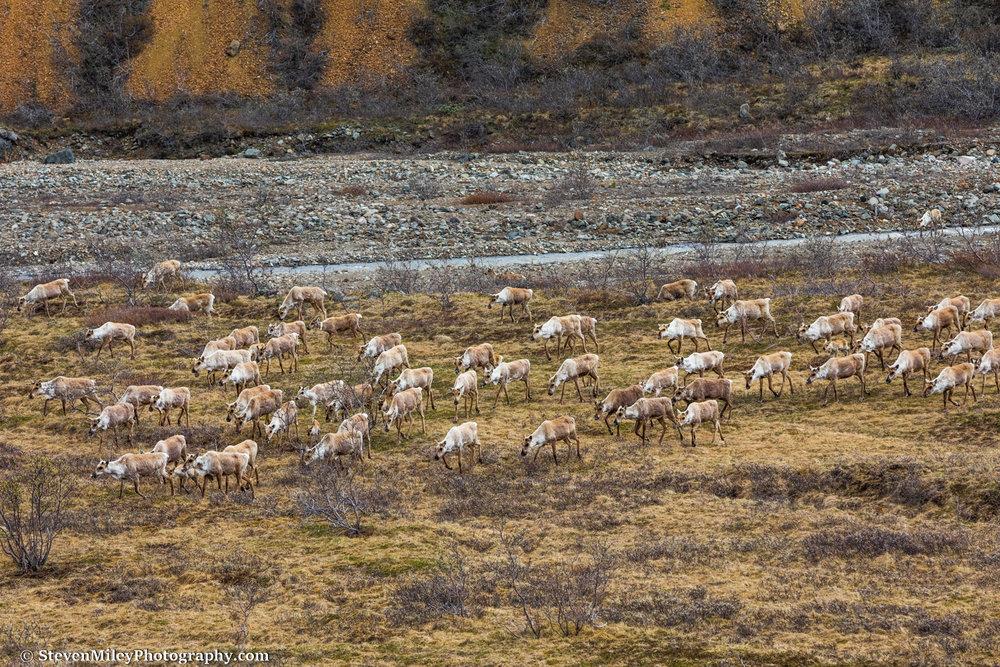 Caribou crossing Stony Creek.