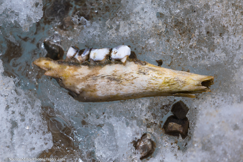 Part of a sheep jaw on the surface of Castner Glacier.