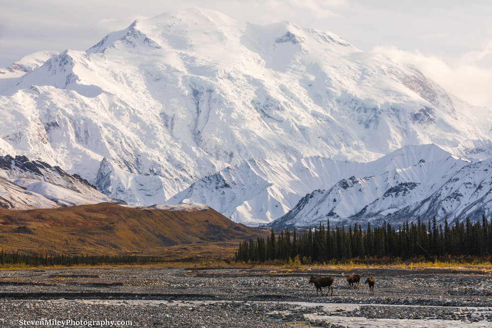 A bull moose and two cows on the gravel bar of the Muddy River with Denali in the background.