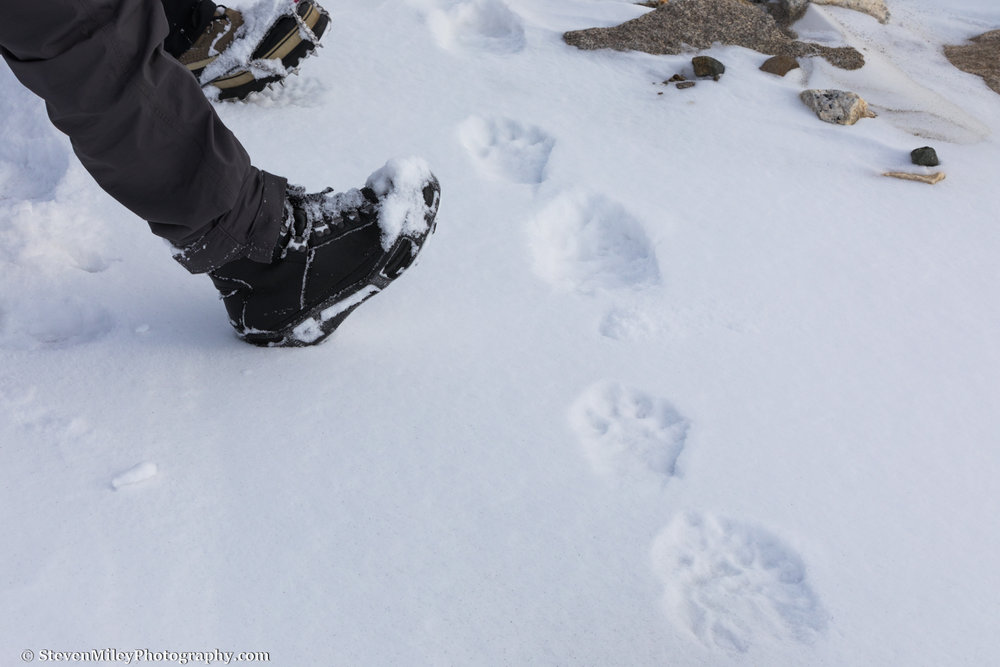 Wolverine tracks on Black Rapids Glacier.