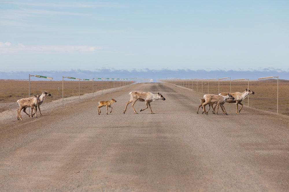 Caribou Crossing Dalton Highway