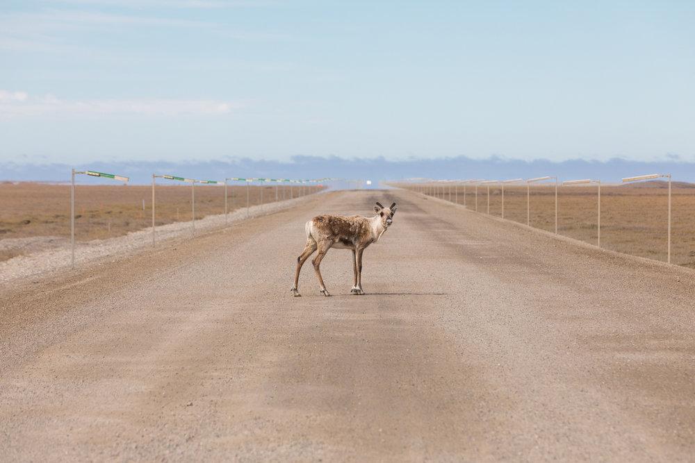 Lone Caribou Crossing Dalton Highway