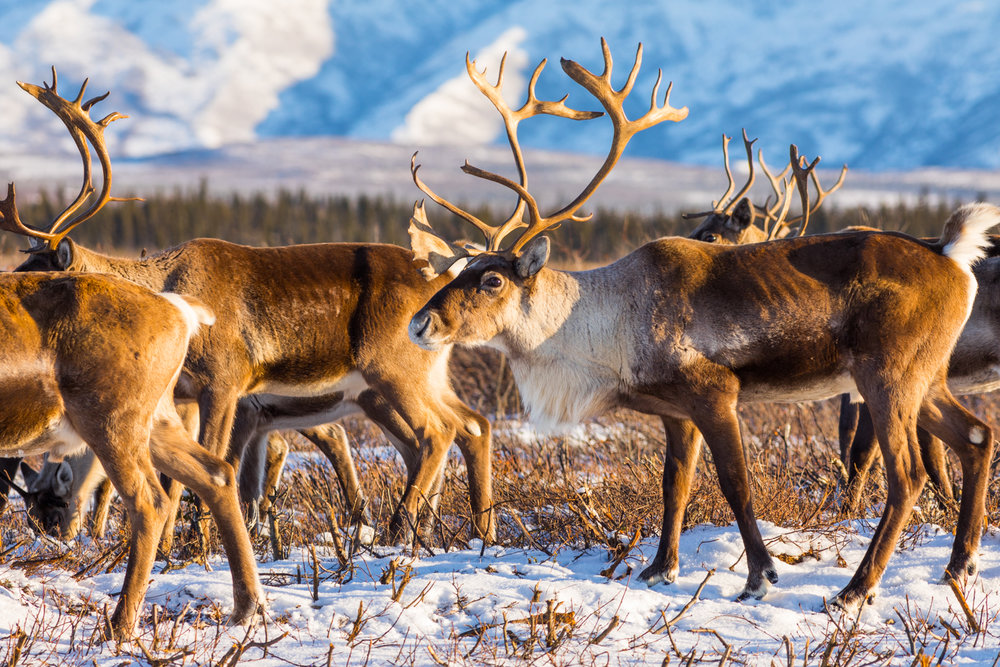 Early Winter Caribou