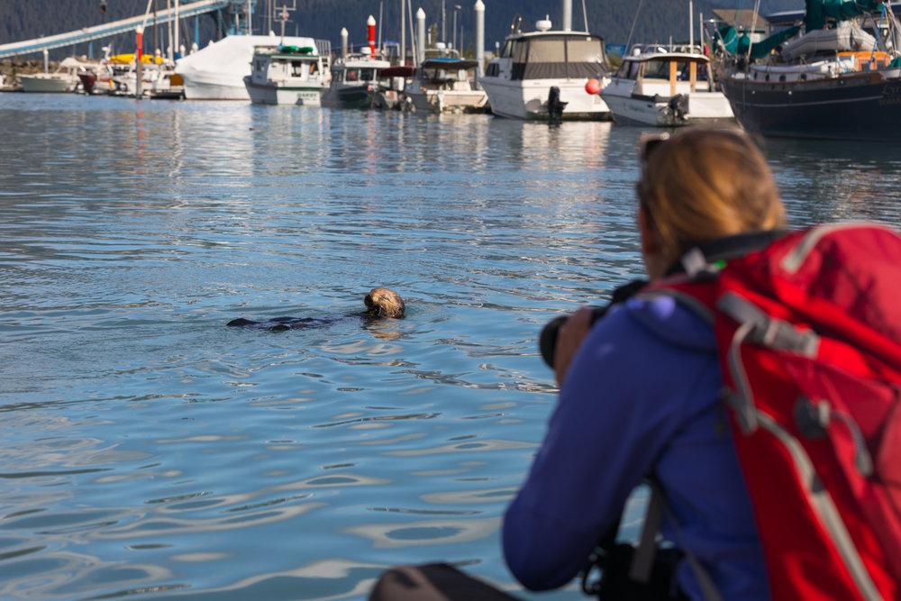 Tourist Photographing Otter, Seward Boat Harbor