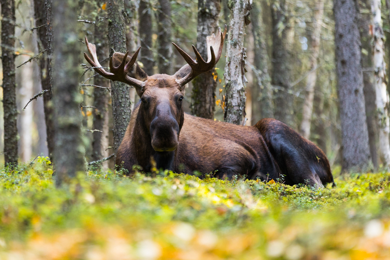 Sep - Fort Greely Moose