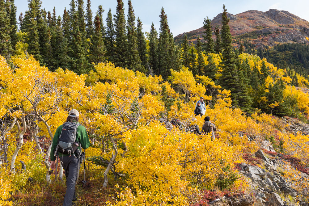 Passing through a growth of stunted aspen trees along the trail
