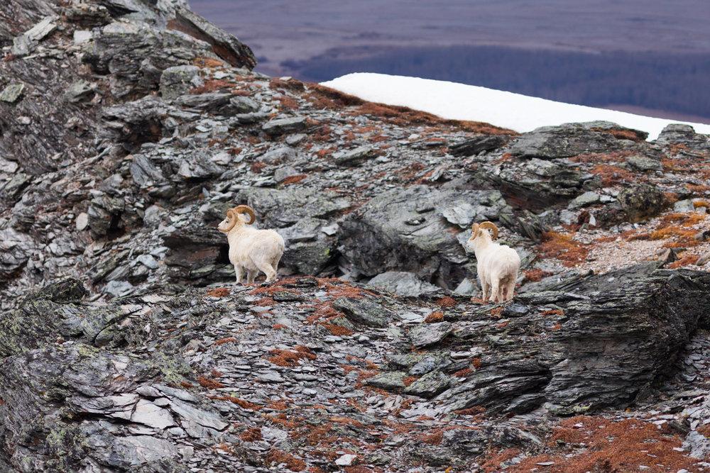 Dall sheep rams near cliffs along the plateau