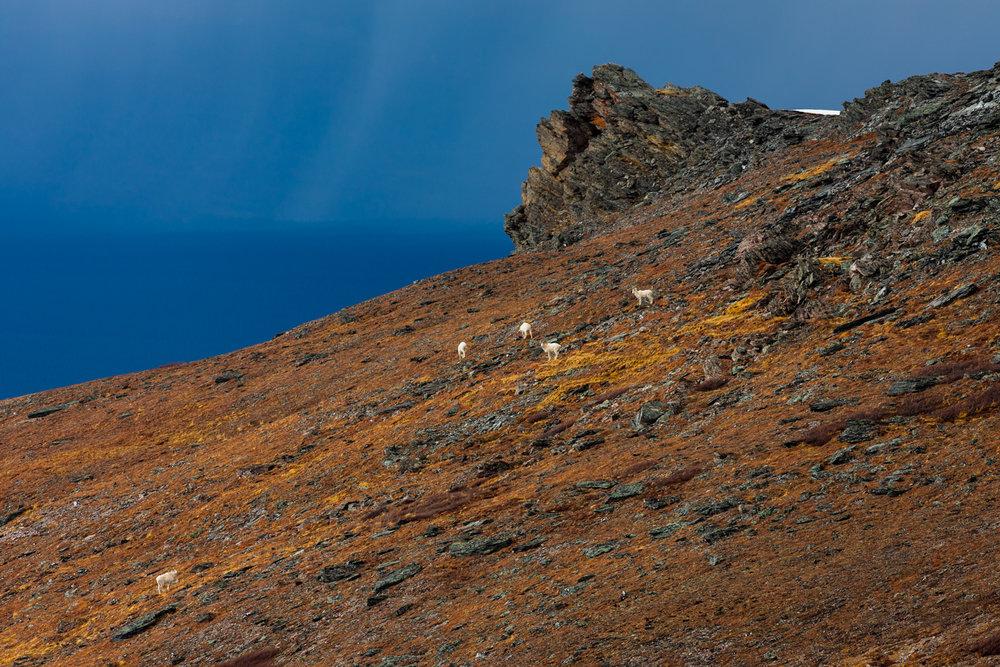 Dall sheep on the plateau
