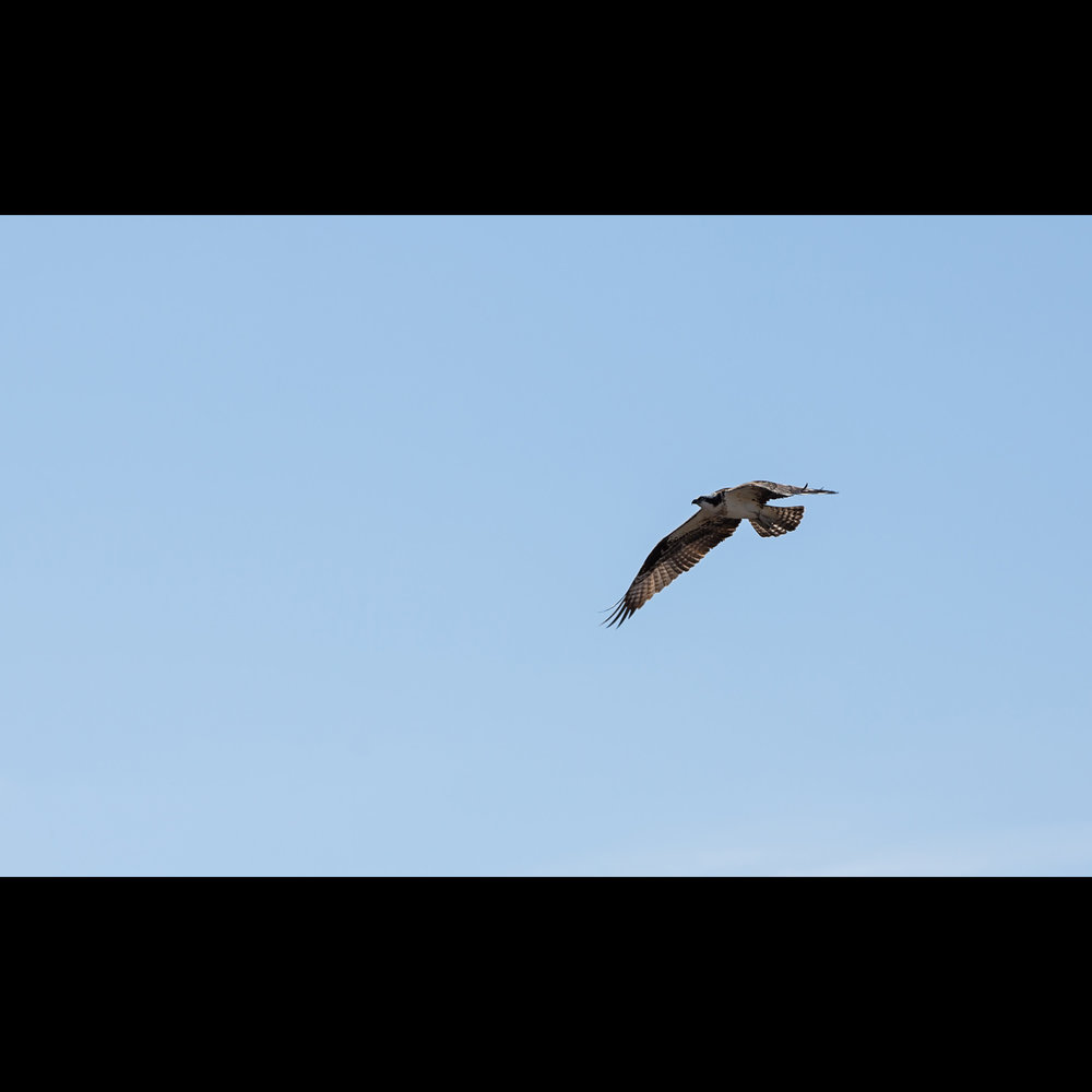 3.26 FIRST OSPREY