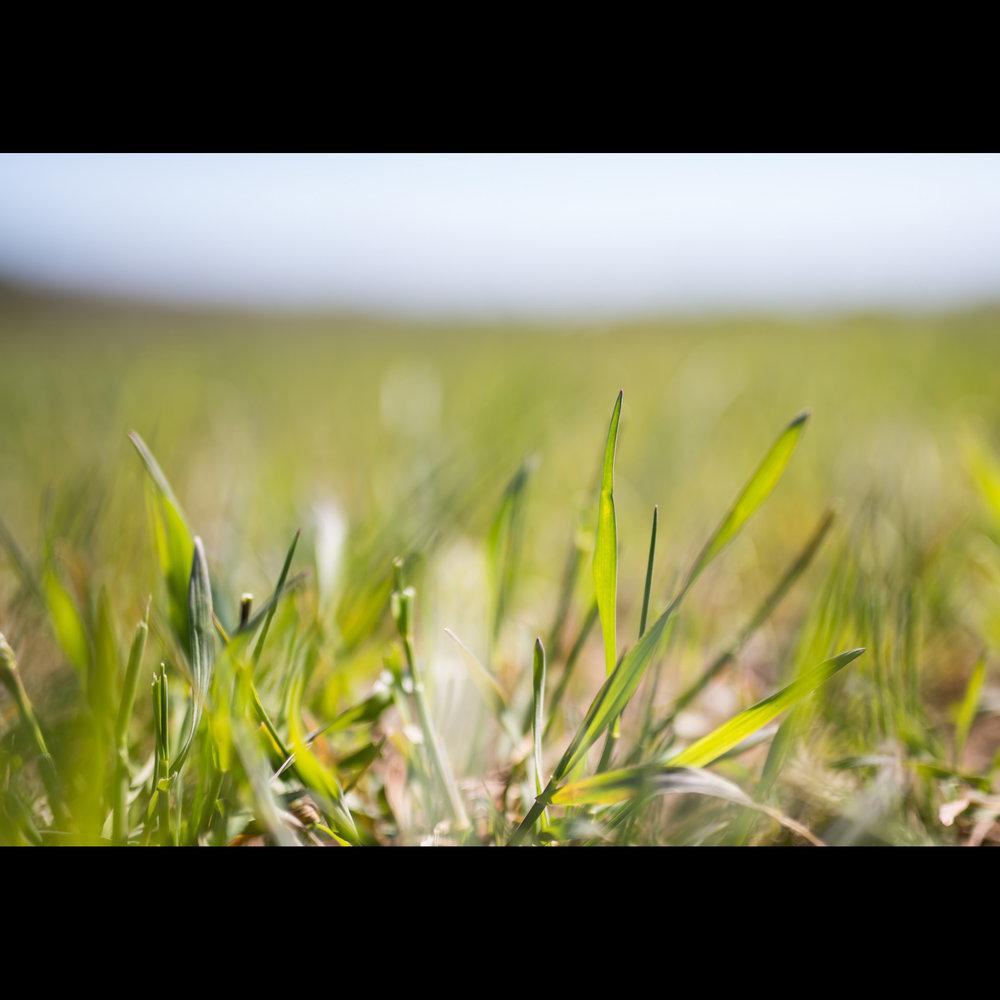 4.17 RYE GRASS
