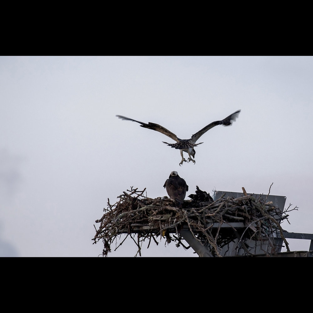 7.14 OSPREY FLEDGE