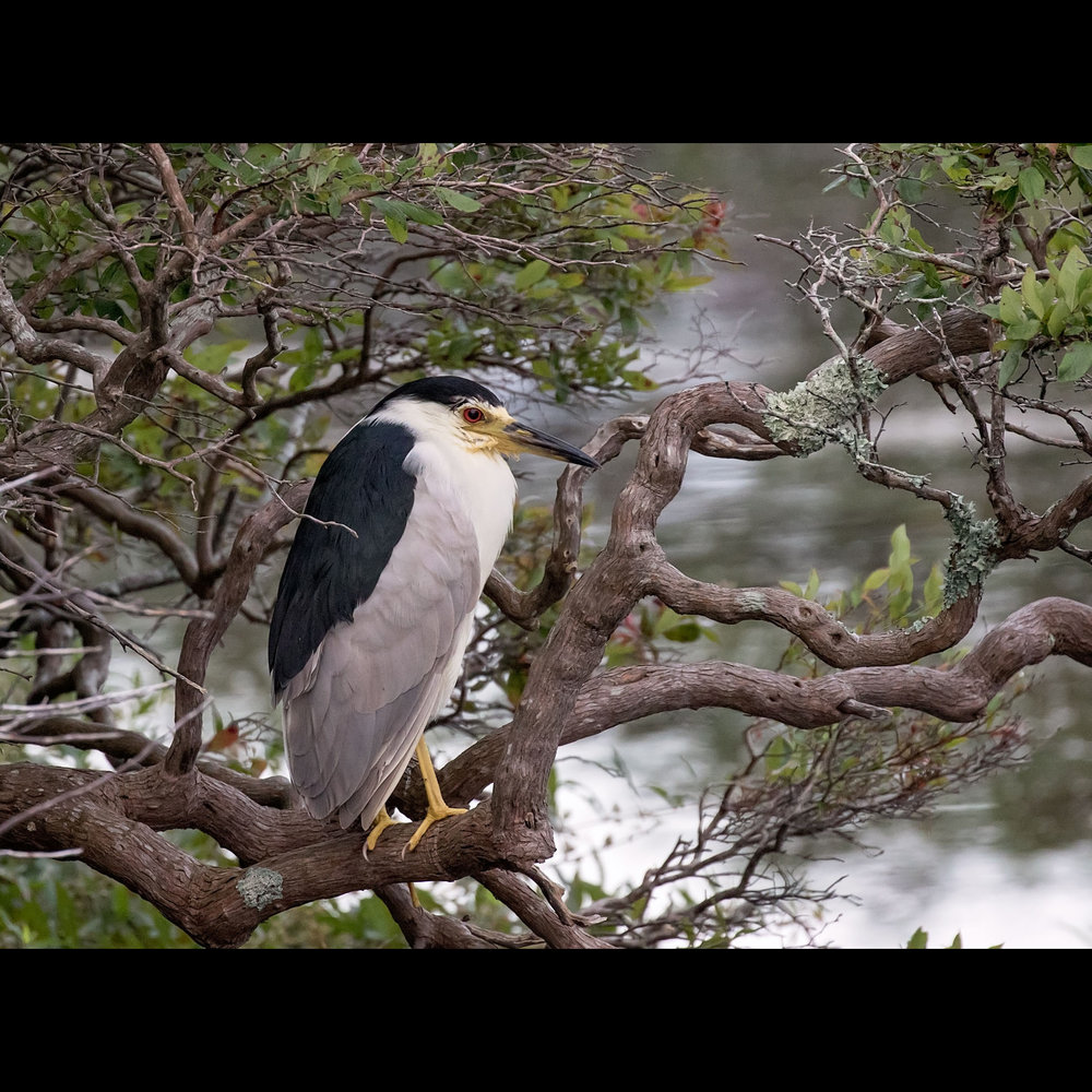 9.3 BLACK-CROWNED NIGHT HERON