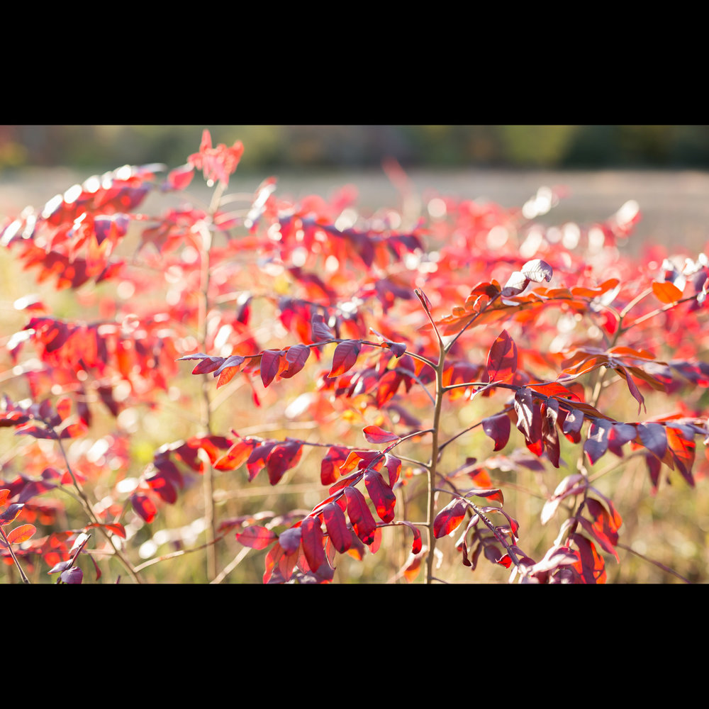 11.1 RED LEAVES