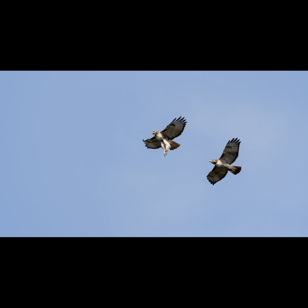 11.2 RED TAIL PAIR