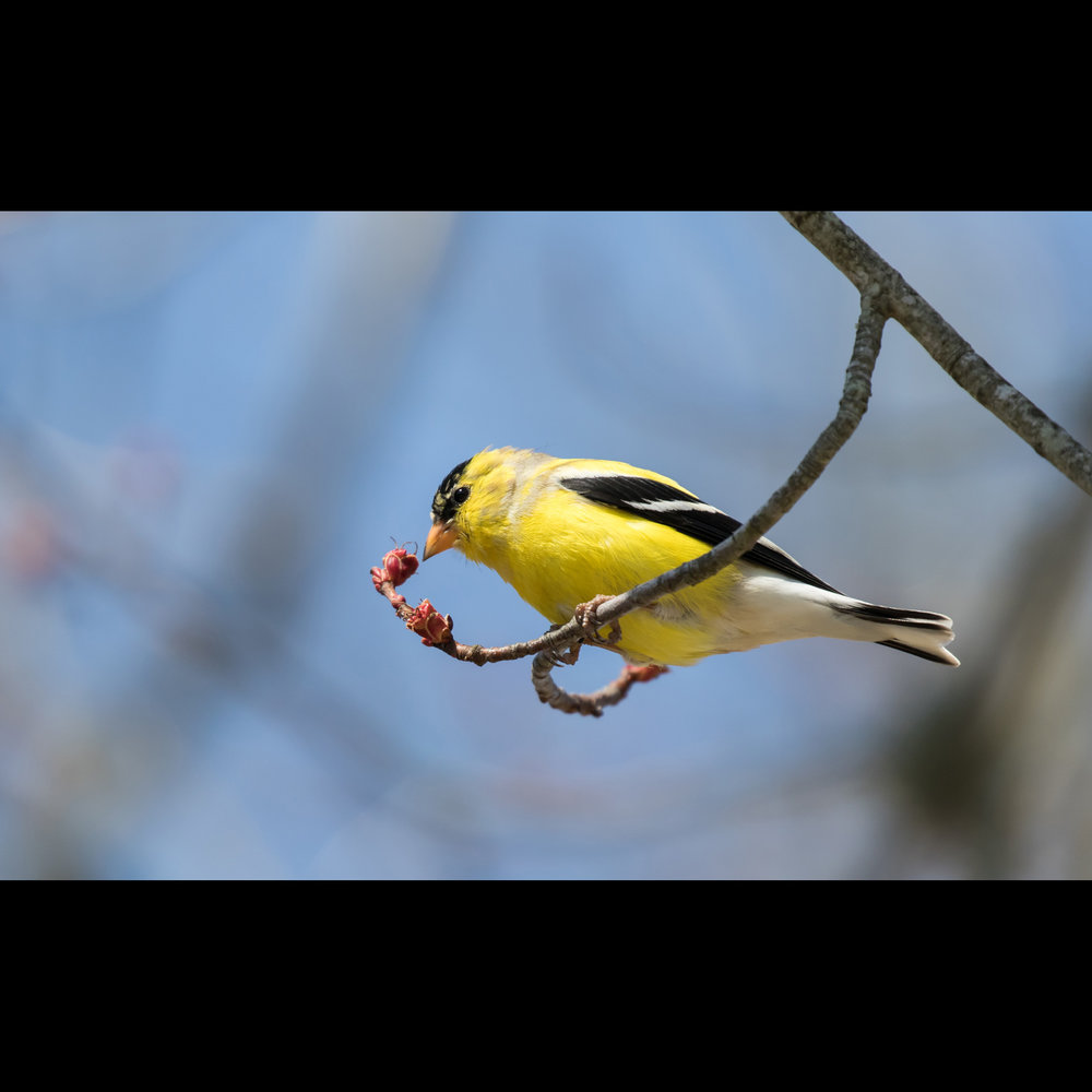 4.11 GOLDFINCH